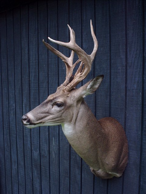 Taxidermy at wild things taxidermy by barry buras for Fish taxidermy prices