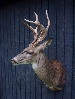 Whitetail Deer Taxidermy at Wild Things Taxidermy