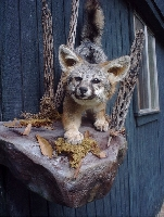 Grey Fox Taxidermy at Wild Things Taxidermy