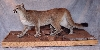 Mountain Lion Taxidermy At Wild Things Taxidermy